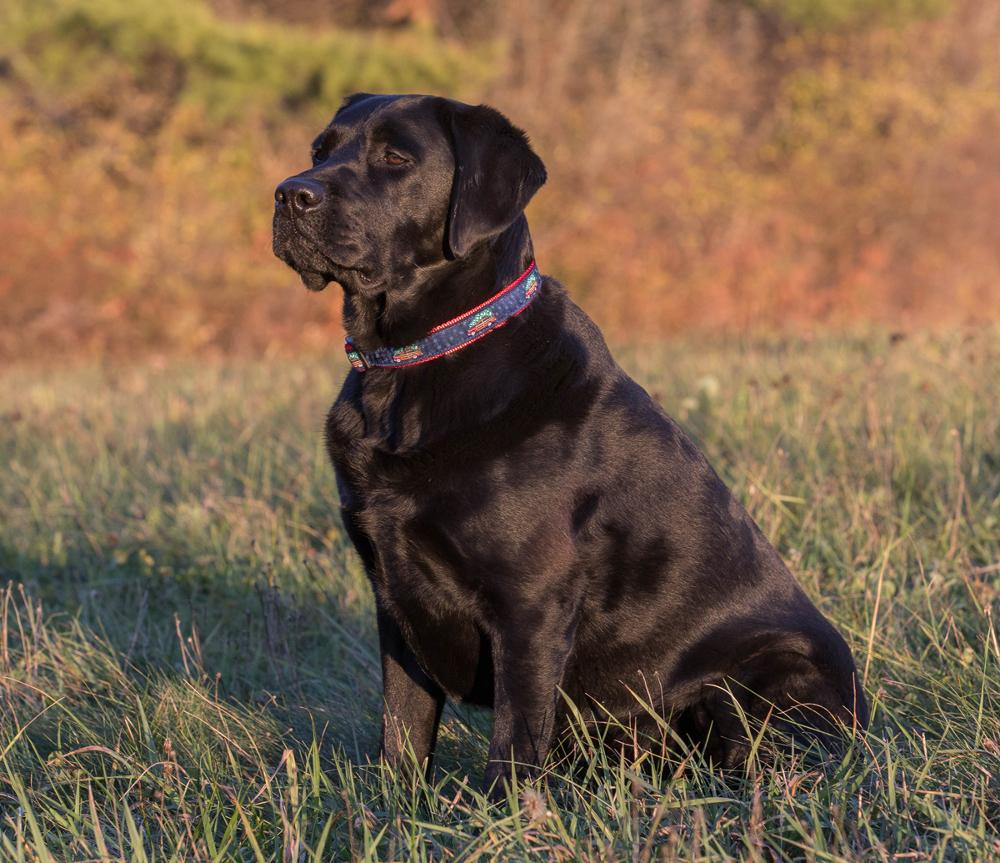 bc-ribbon-dog-collar-woodie-and-tree-1-inch-2