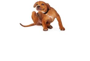 canine_health-flea_tick