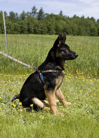 lp-dog-harness-3