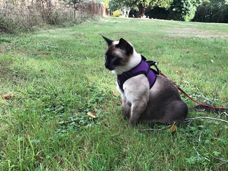 rc-step-in-cat-harness