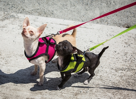 rc-step-in-dog-harness-1